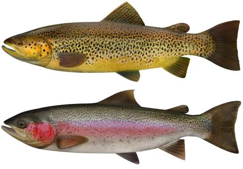 Trout Vs Salmon