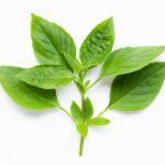 Basil Leaves vs Tulsi