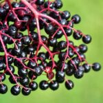 What Does Elderberry Taste Like?
