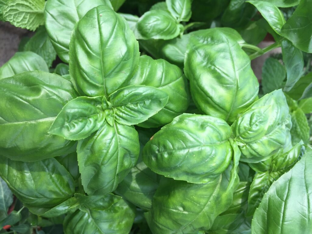 Holy Basil vs Sweet Basil